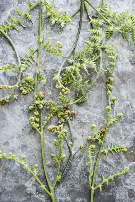 Close up of forest ferns uncurling — Stock Photo
