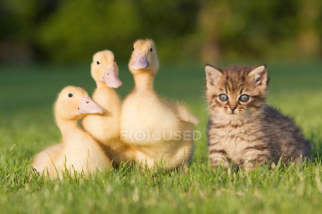 Утки и котенок на траве — стоковое фото
