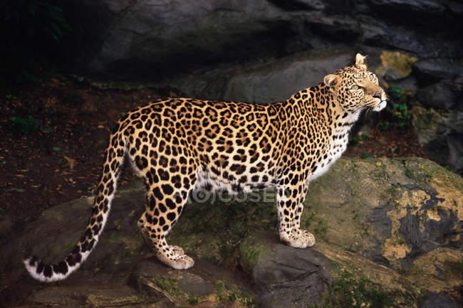 Один леопард стоя на камнях — стоковое фото