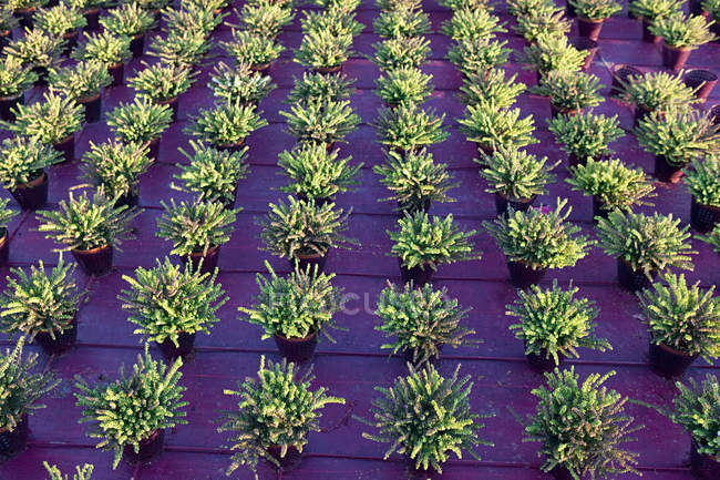 Heather plants growing in rows — Stock Photo