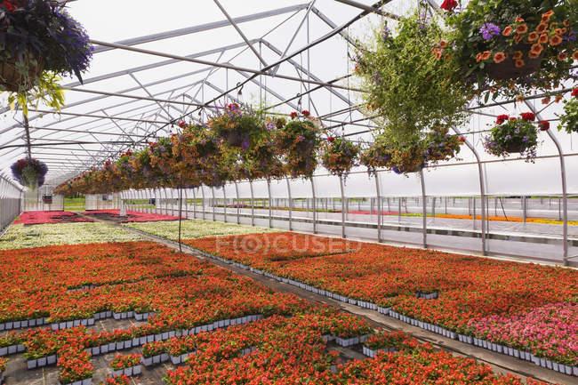 Сталь обрамлен коммерческой теплицы с рядами оранжевых Petunias и красный Pelargonium - герань в висит корзины плюс красные, белые, красные и розовые цветущие Бегония растений выращиваются в контейнерах для продажи дистрибьюторам и общественности весной, Que — стоковое фото