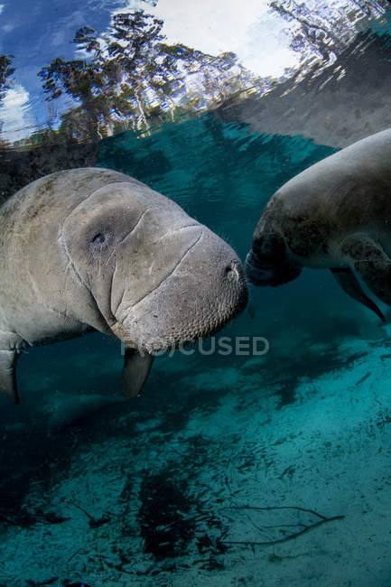 Lamantins de mer flottant sous l'eau — Photo de stock