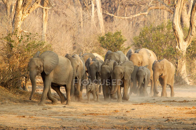 Herd of African Elephants on move — Stock Photo