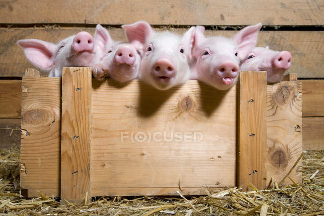 Five piglets in wooden crate — Stock Photo