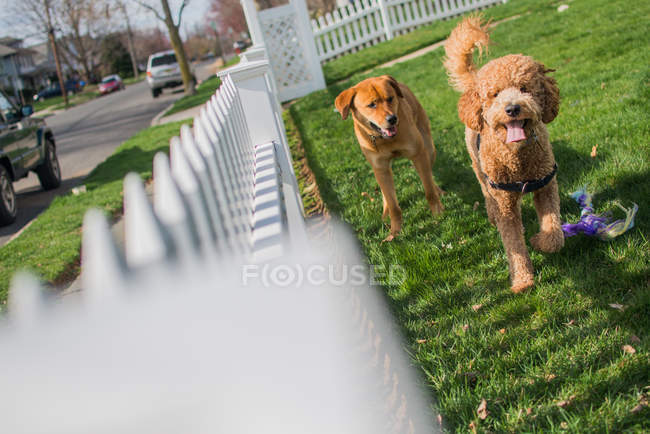 Two dogs running on grass and playing in garden — Stock Photo