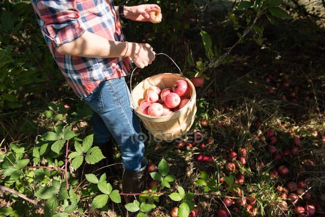 Imagem cortada de homem pegando maçãs em pomar de fazenda orgânica — Fotografia de Stock