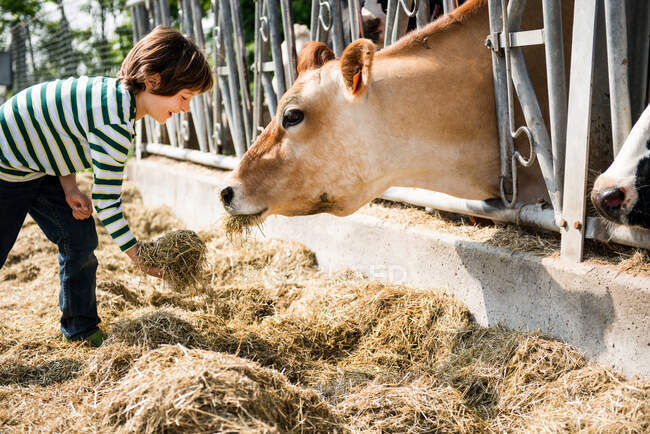 Boy feeding cow on organic dairy farm — Stock Photo