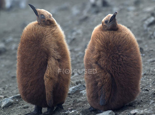 Пухнасті король пінгвін курчат на пляжі — стокове фото