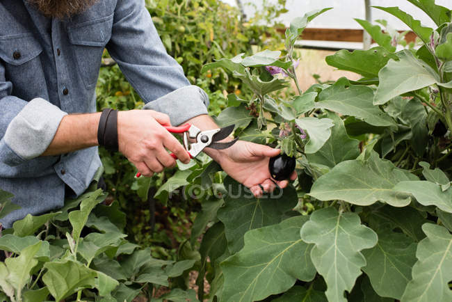 Cropping image of man harvesting baby eggplants in organic farm poly tunnel — Photo de stock