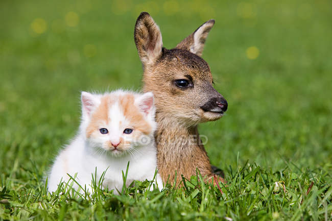 Cervatillo y gatito descansando sobre hierba verde a la luz del sol - foto de stock