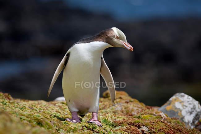 Pinguino dagli occhi gialli — Foto stock