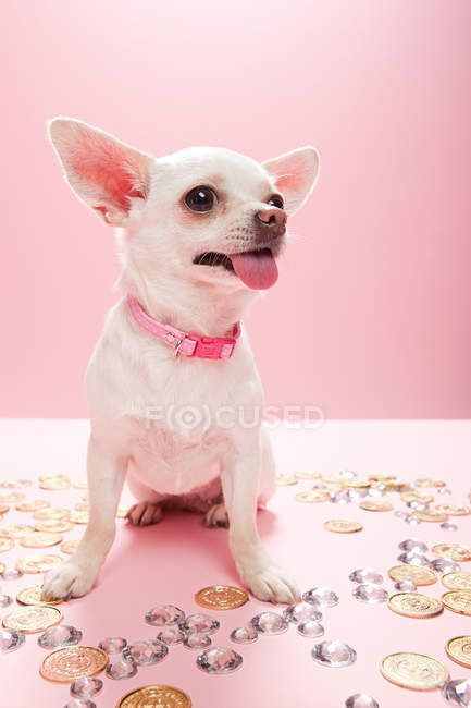 Chihuahua with jewels and coins — Stock Photo
