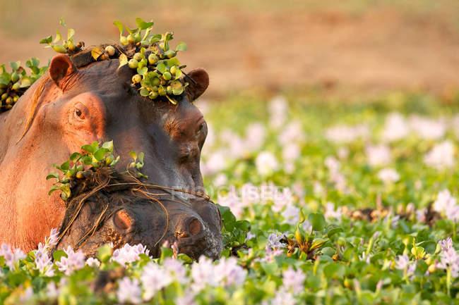 Hippopotame se vautrant parmi les fleurs — Photo de stock