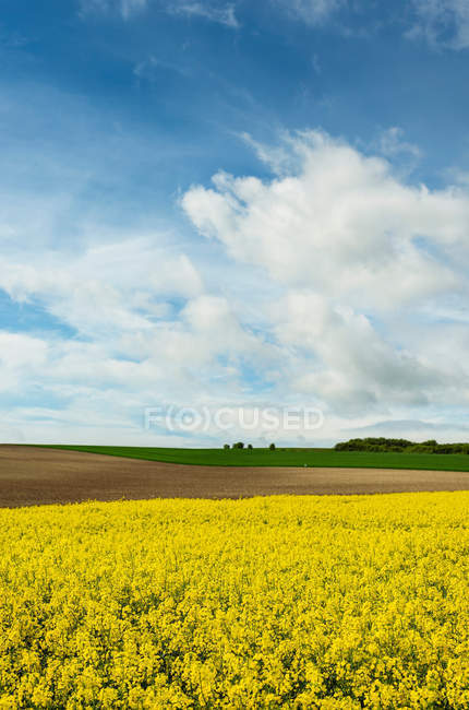 Blossoming canola field — Stock Photo
