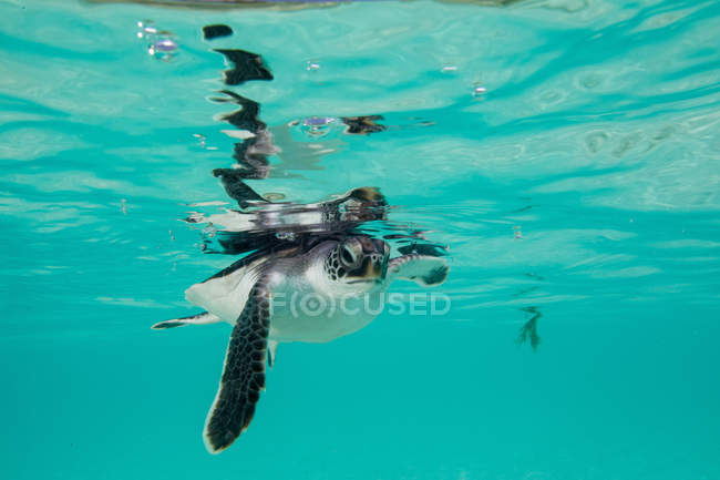 Juvenile Green Sea Turtle swimming in water — Stock Photo