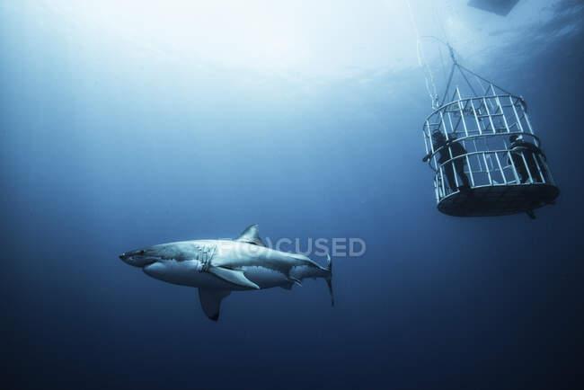 Большая акула, исследующая клетки дайверов, остров Гвадалупе, Мексика — стоковое фото