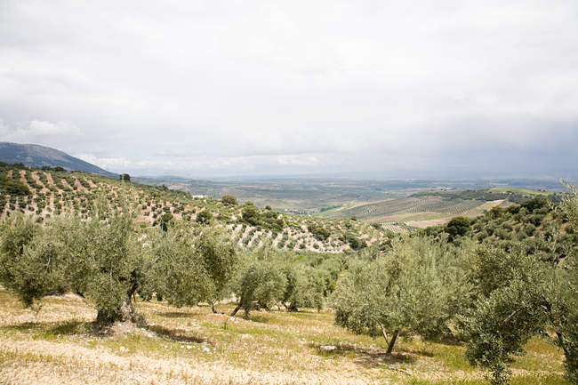 Olive grove under cloudy sky — Stock Photo