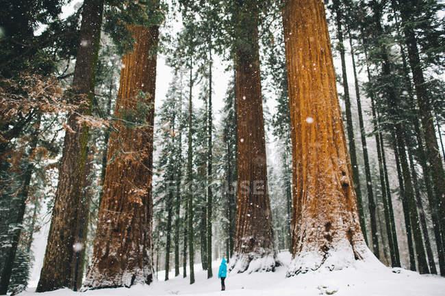 Женщина у гигантских деревьев в заснеженном лесу, Национальный парк Секвойя, Калифорния, США — стоковое фото