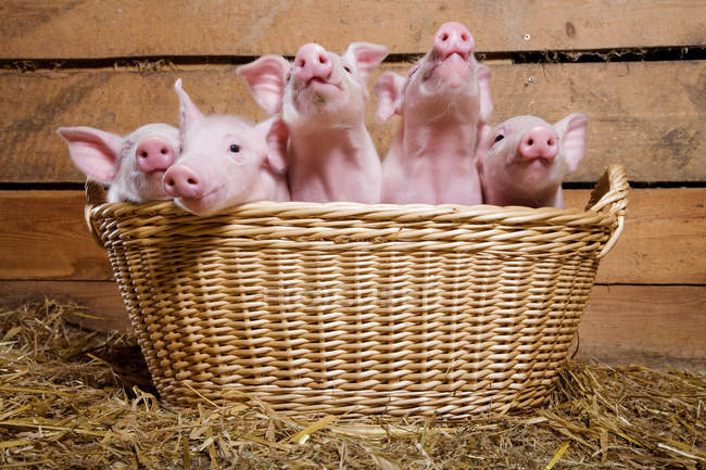 Five piglets in basket — Stock Photo