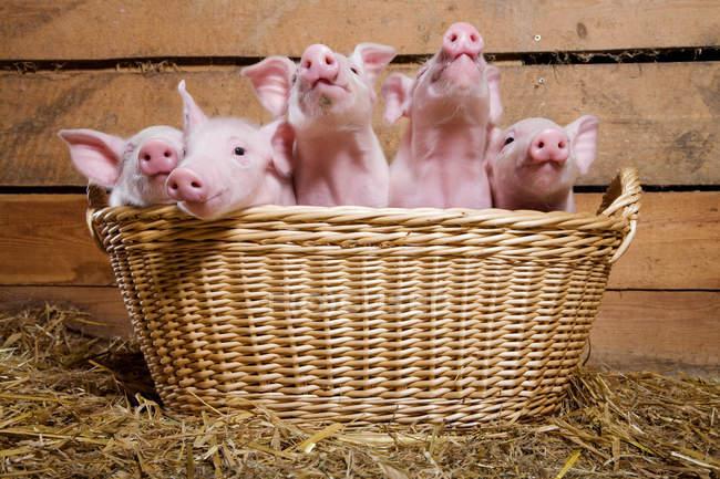 Cinco leitões na cesta — Fotografia de Stock