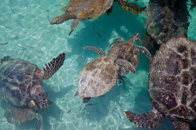 Высокий угол зрения морских черепах, купание в бирюзовой воде — стоковое фото