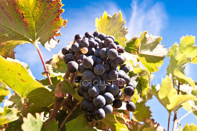 Close-up view of fresh ripe grapes on the vine with green leaves — Stock Photo
