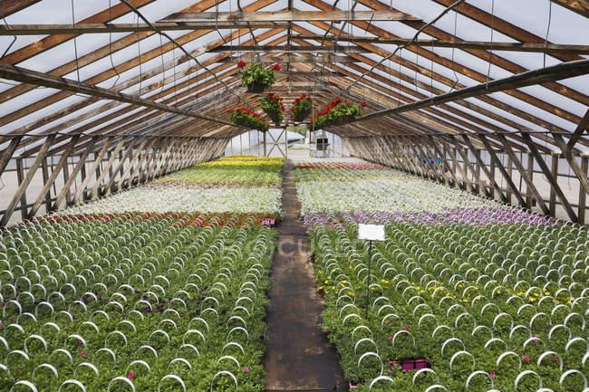 Holzgerahmtes kommerzielles Gewächshaus mit rotem Pelargonien - Geranienblüten in hängenden Körben plus gemischte rote, mauvefarbene und weiße Blütenpflanzen, die in Containern angebaut werden, um sie im Frühjahr an Händler und die Öffentlichkeit zu verkaufen, Quebec, Kanada — Stockfoto