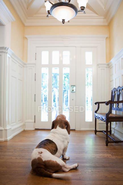 Внутрішніх собаки, сидячи перед двері в домашніх умовах — стокове фото