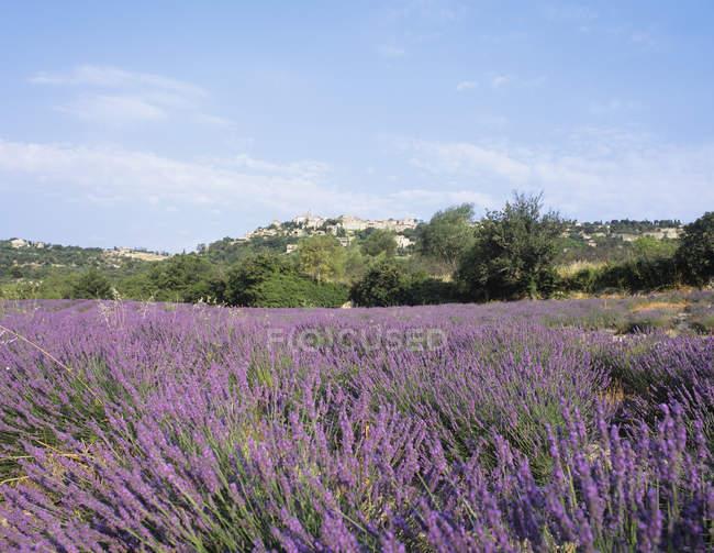 Лаванда поля поблизу Аурел Прованс — стокове фото