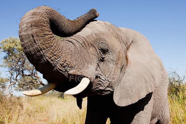 Female African Elephant — Stock Photo