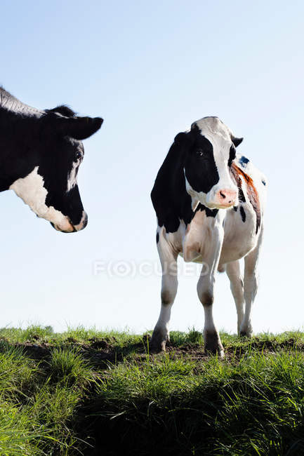 Zwei schöne schwarze und weiße Kühe Weiden auf grünen Rasen — Stockfoto