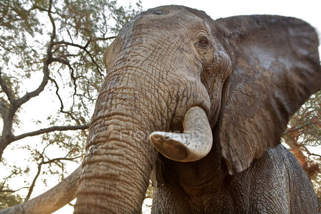African elephant with trunk — Stock Photo