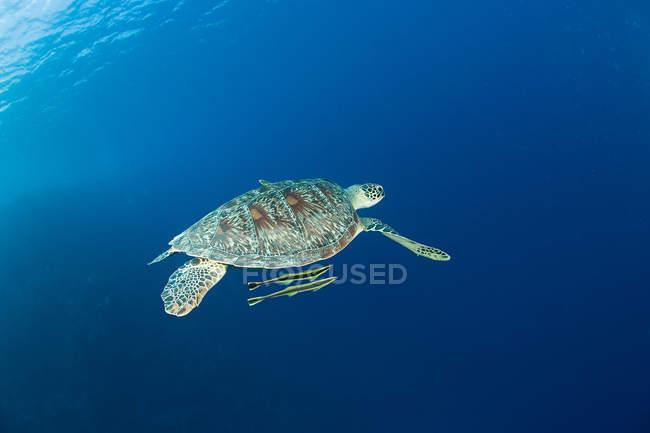 Tortue nageant avec des poissons sous l'eau — Photo de stock