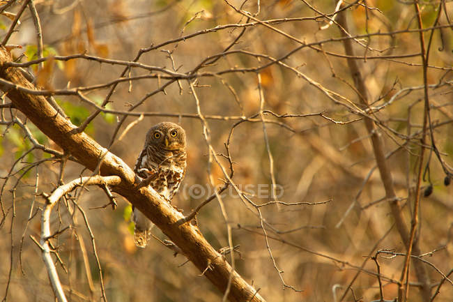 African Owlet interdit perché dans l'arbre — Photo de stock