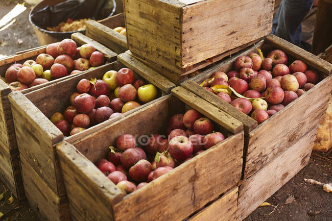 Delicious red apples in wooden boxes — Stock Photo