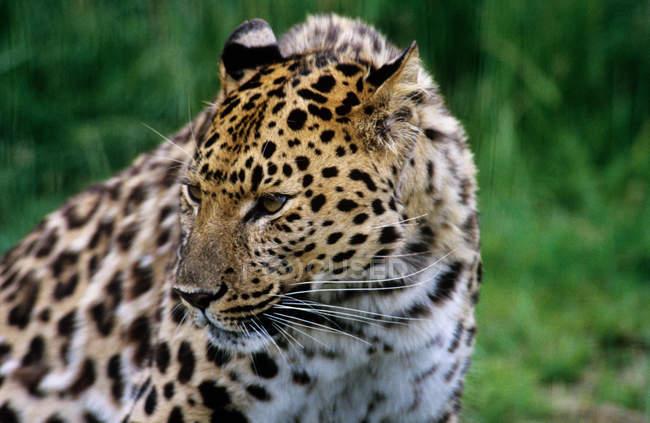 Один Амурский леопард — стоковое фото