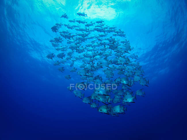 School of fish under vivid blue water — Stock Photo
