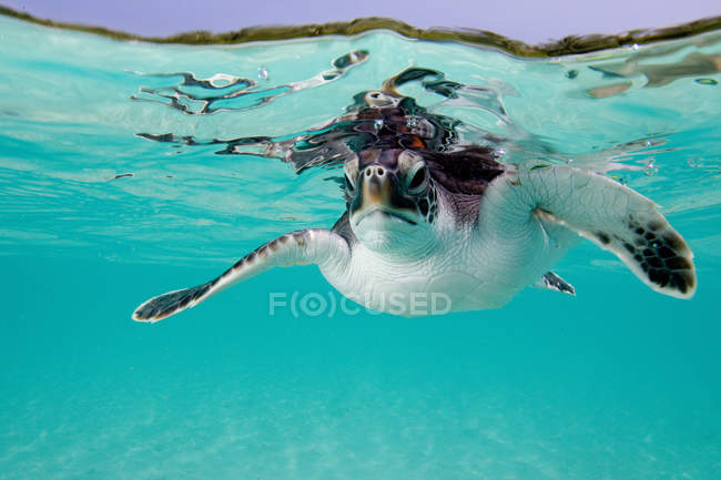 Turtle swimming under blue water — Stock Photo
