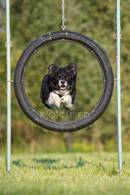Cane che salta attraverso pneumatico — Foto stock