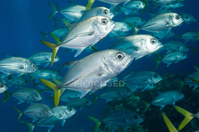 Group of schooling Horse-eyed Jack fish under water — Stock Photo