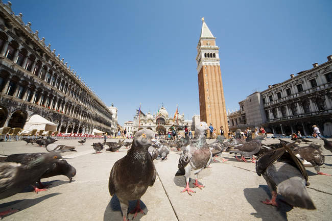 Surface level view of pigeons on St marks square — Stock Photo