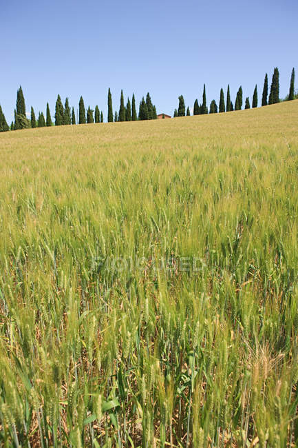 Cypress trees and wheat field near Siena — Stock Photo