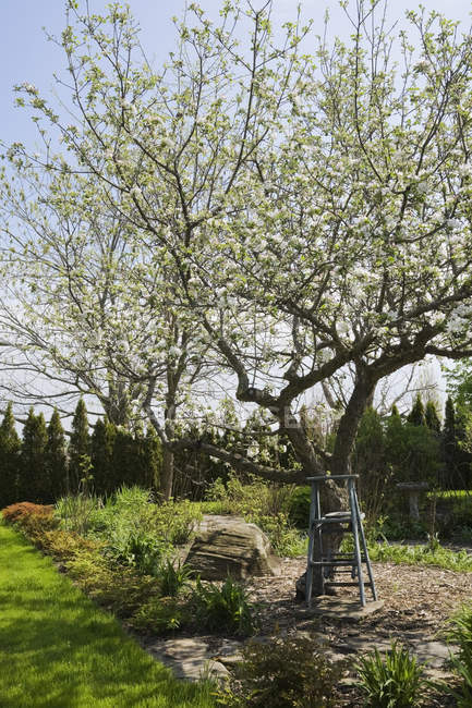 Wooden stepladder beneath white flowering apple tree — Stock Photo