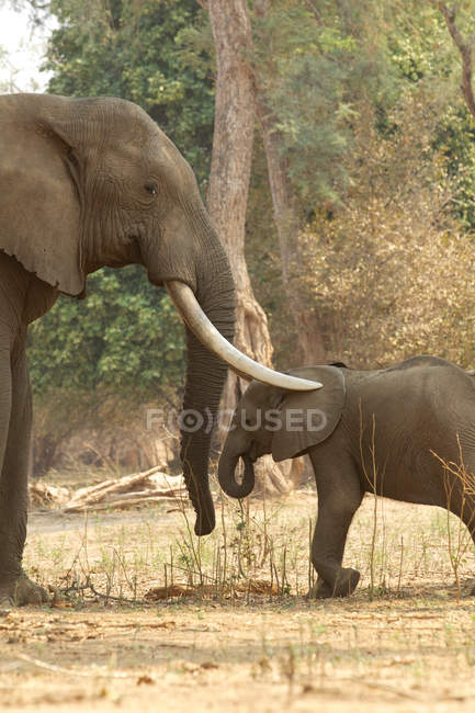 Adult male african elephant with trunks over calf — Stock Photo