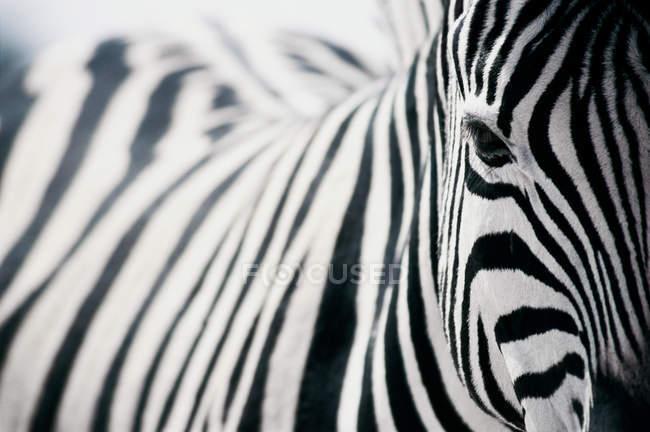 Закройте один черно-белые полосатые зебры, глядя на камеру — стоковое фото