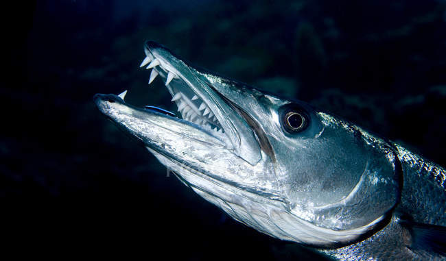 Gros coup de grand barracuda avec bouche ouverte — Photo de stock