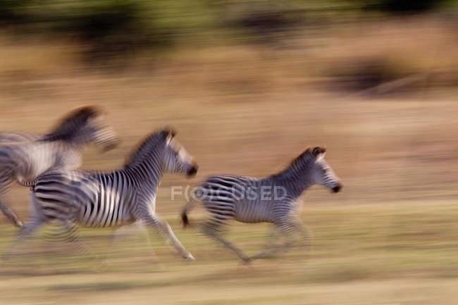 Bewegung verwischt Zebras in Savanne laufen — Stockfoto
