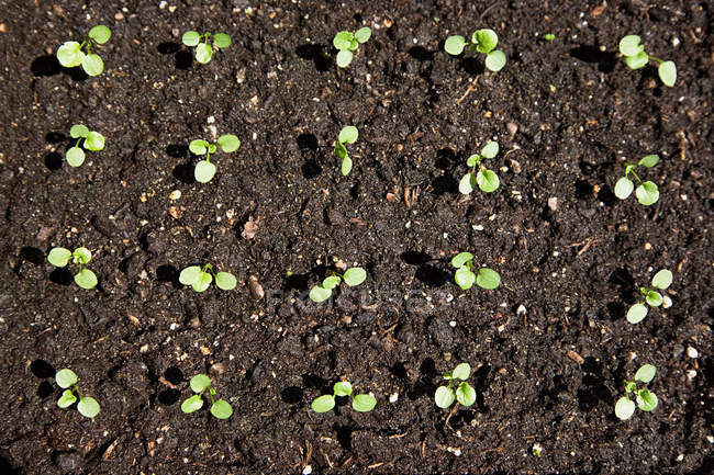 Elevated view of seedlings in row — Stock Photo