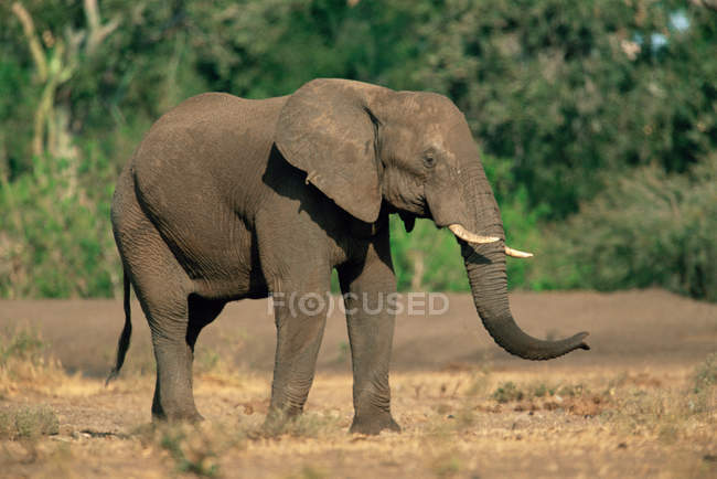 Африканский слон в природном заповеднике — стоковое фото
