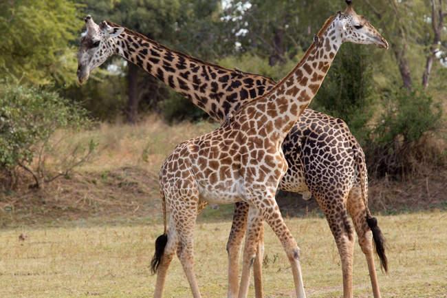Giraffe maschi e femminile alla riserva naturale, Savannah, sud africa — Foto stock